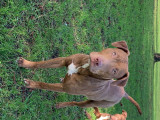 Pitbull pur red nose à vendre