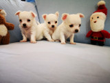 White Miniature Chihuahua Puppies