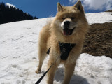Eurasier LOF disponible pour saillie