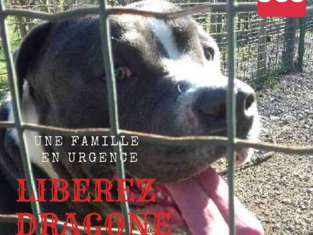 A Adopter Staffordshire Terrier American Pure Race De 2 Ans Petite Annonce Chien