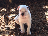 Chiots Bulldogs Américains inscrits au National Kennel Club (USA)