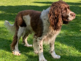 Springer Spaniel mâle disponible pour saillie