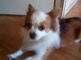 Chihuahua LOF à poils longs pour saillie