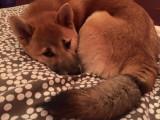 Mâle Shiba Inu LOF confirmé pour saillie