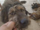 chien Griffon Boulet Mâle à donner