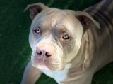 American Bully XL 2 ans avec pedigree à vendre