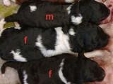 Chiots Caniche Royal bicolores avec pedigree à réserver