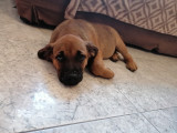 Chiots Labradors croisés Staff à vendre