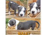 Chiots American Bully disponibles