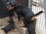 Chiots Jagd Terrier à vendre