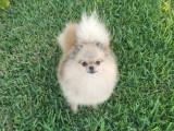 chien Loulou de Pomeranie à vendre