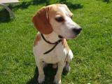 Propose étalon Beagle pour saillie