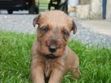 Chiots Irish Terrier Terrier Irlandais LOF à réserver
