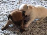 Chiots Chihuahuas à poil long à vendre