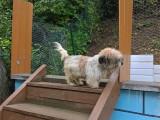 Belle femelle Jack Russel Terrier à vendre