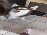 Husky pour reproduction
