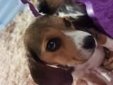 Chiots Beagle Élisabeth à vendre