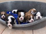7 chiots Bulldogs Continentaux à vendre (5 Femelles & 2 Mâles)