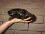 Chiots Spitz nain croisés Chihuahuas à vendre