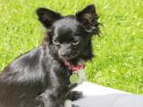Magnifiques Chihuahuas à poils longs à vendre