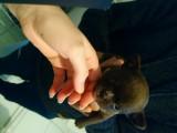 Chiots Chihuahuas de couleur rare à vendre