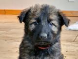 Chiots Altdeutshe Shäfferhund