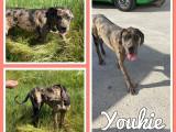 2 chiots Dogues Allemands à vendre (2 Femelles)