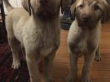 2 chiots Kangals à vendre (2 Mâles)