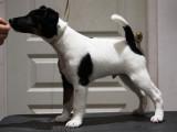 Chiots Fox Terrier à poil lisse à vendre