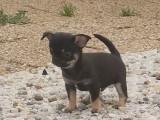 Chihuahua mâle poil court LOF à vendre