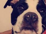 Propose étalon American Staffordshire Terrier pour saillie
