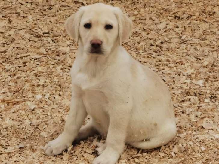 Chiot Labrador Femelle A Vendre Petite Annonce Chien