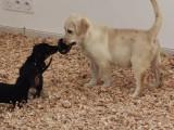 Chiot Labrador femelle à vendre