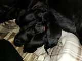 Chiots Labradors croisés Américains Bully à naître