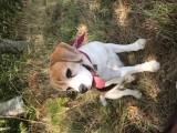 Recherche une femelle Beagle pour saillie