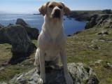 Recherche étalon Labrador sable, LOF et confirmé