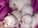 Magnifiques Chihuahuas LOF à vendre
