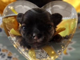 Chiot Chihuahua mâle LOF à vendre