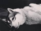 Husky Sibérien de 4 ans à donner