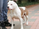 Propose American Staffordshire Terrier pour saillie