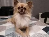 Chihuahua mâle disponible pour saillie