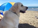 Adorable Golden Retriever LOF pour saillie