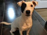 Magnifique Jack Russel Terrier mâle pour saillie