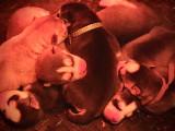 7 chiots Husky Sibérien à vendre (7 Mâles)