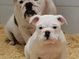 Sublimes chiots Bulldog Continental LOF de 2mois à vendre