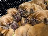 Magnifiqes Chiots Dogue de Bordeaux LOF à vendre