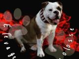 Chiots Bulldog Continental LOF à naître