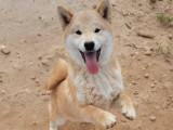 Rex, superbe chiot Shiba Inu LOF à vendre