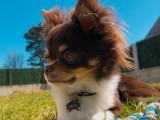 Chihuahua mâle poil long disponible pour saillie