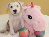 6 chiots American Staffordshire Terrier à vendre (4 Femelles & 2 Mâles)